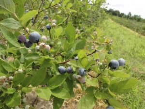 blue berry farm